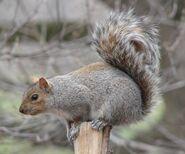 Squirrel, Eastern Grey
