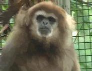 Akron Zoo Gibbon