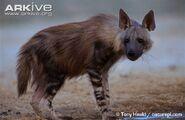 Brown-hyaena-at-water