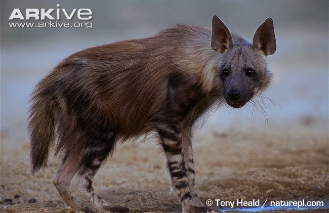 Brown Hyena