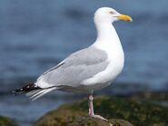 Herring Gull, American