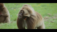 Howlett's Wild Animal Park Gelada