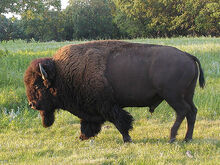 Plains bison.jpg