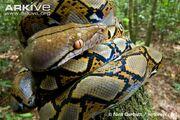 Python, Reticulated.jpg
