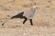 Secretary Bird (V2)