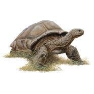 Tortoise (Hesperotestudo)