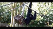 Virginia Zoo Siamang (V2)