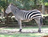 Zebra (Animals)