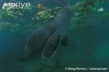 Amazonian-manatee--swimming.jpg