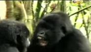 BTJG Gorillas