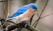 Bluebird, Eastern (V2)