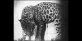 Bronyx Zoo Jaguar