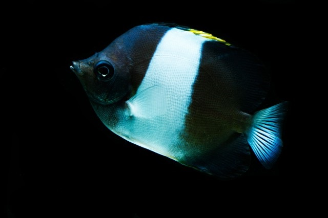 Brown And White Butterflyfish