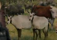 Evan Almighty Oryxes