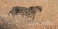 KNP Cheetah