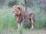 Lion, Congo.jpg