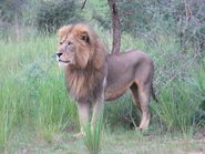 Lion, Congo