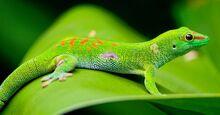 Madagascar-day-gecko-500x262.jpg