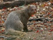 Mongoose, Indian Grey