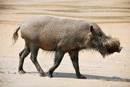 Pig, Bornean Bearded
