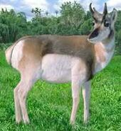 Pronghorn antelope switch zoo
