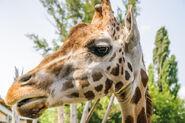 Rothschild-s-giraffe-head-giraffa-camelopardis-rothschildi-closeup-81049478