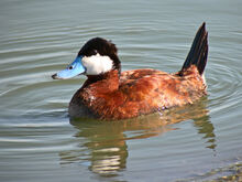 Ruddy Duck LB 5849 1600.jpg
