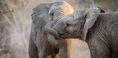 African-Elephant-1