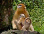 BEWAA Golden Snub-Nosed Monkey