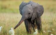 Baby Elephants and Cattle Egrets