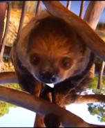 Brevard Zoo Sloth