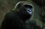 Bronyx Zoo TV Series Gorilla