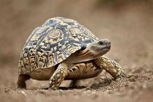Leopard Tortoise.jpg