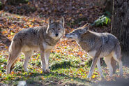 Male and Female Coyotes