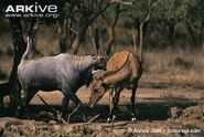 Nilgai-courtship-behaviour-between-male-and-female