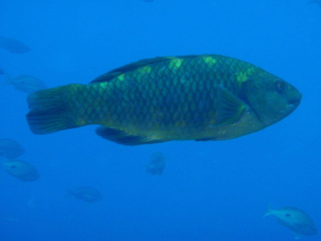 Banded Parrotfish