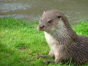 Otter, European.jpg