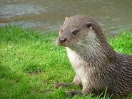 Otter, European