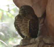 Owl utah's hogle zoo