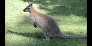 Toledo Zoo Wallaby