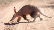 Aardvark (V2).jpg