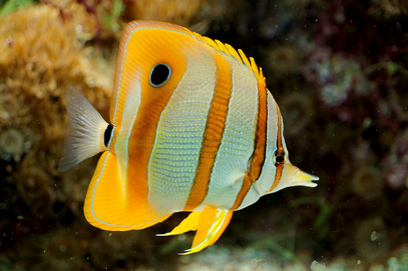 Copperband Butterflyfish