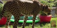 Dallas Zoo Cheetah