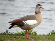 Egyptian Goose, Wroxham Broad, 17-Apr-04 (AB5)