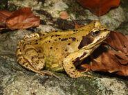 Grasfrosch-Rana-temporaria-adult