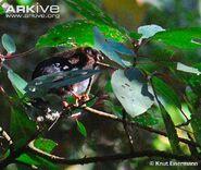 Juvenile-horned-guan
