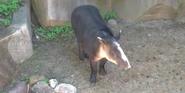 Milwaukee County Zoo Tapir