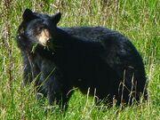 Olympic Black Bear.jpg