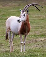 Oryx, Scimitar-Horned