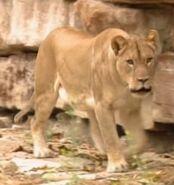 B&F Lioness